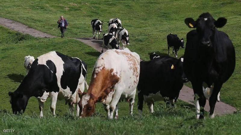 حالتا وفاة في بريطانيا بأقل من أسبوعين.. والسبب أبقار