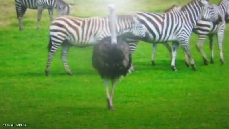 'أزمة هوية'.. سلوك نعامة يثير استغراب عاملين بحديقة حيوانات