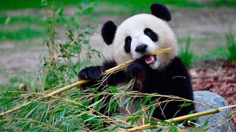 """""""معجزة صغيرة"""" في حديقة حيوان أميركية.. مصدرها الصين"""