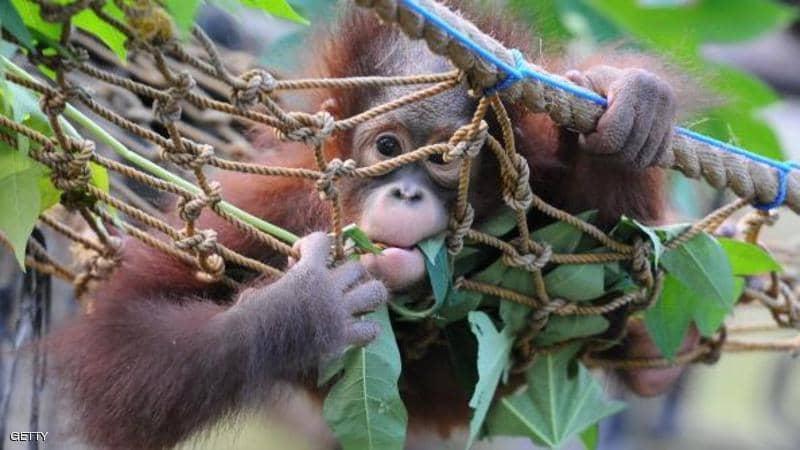 """علماء يزرعون جينات بشرية في أمخاخ القرود.. والنتائج """"مذهلة"""""""