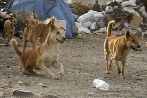 أين وصل مشروع محاربة الكلاب الضالة بالحوز؟