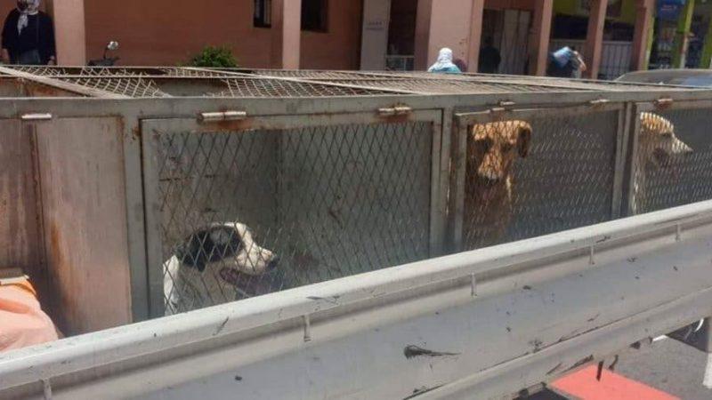 حملات السلطات المحلية بالحي الحسني بمراكش تواجه الكلاب الضالة