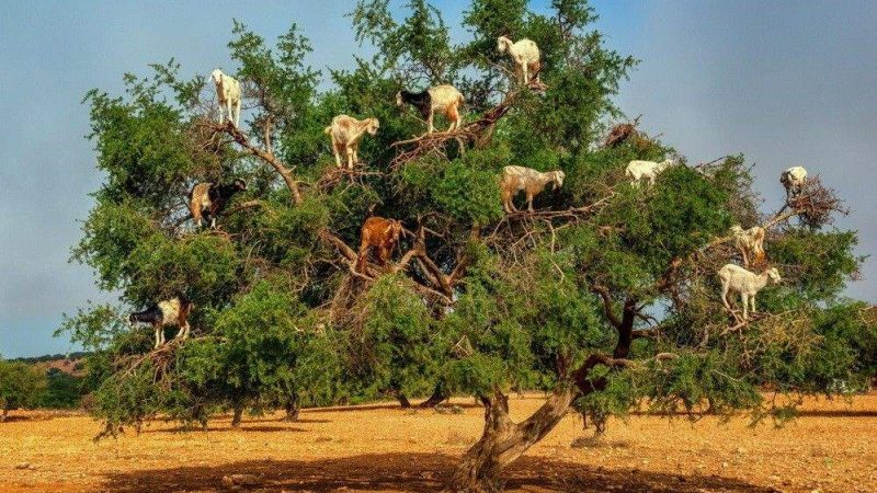 الجمعية العامة للأمم المتحدة تسعى لاعتماد يوم عالمي للاحتفال بشجرة الأرݣان