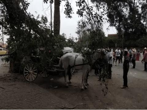 مراكش..سقوط جذع شجرة بعرصة البيلك يثير هلع زوار جامع الفنا