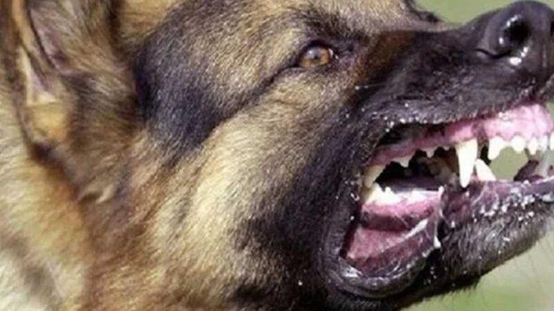 كلاب الحراسة تتحول إلى أدوات للسرقة في يد ذوي سوابق عدلية
